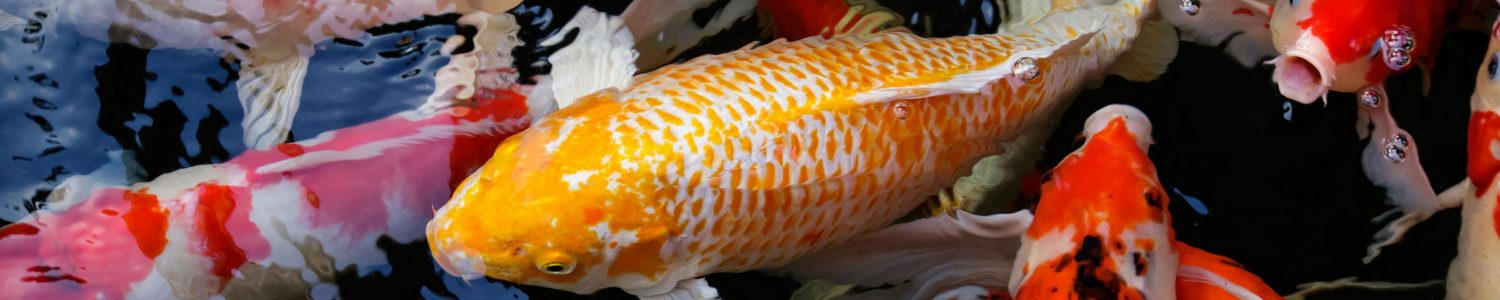 Many Koi or Carp, swim in the ripples reflection water.